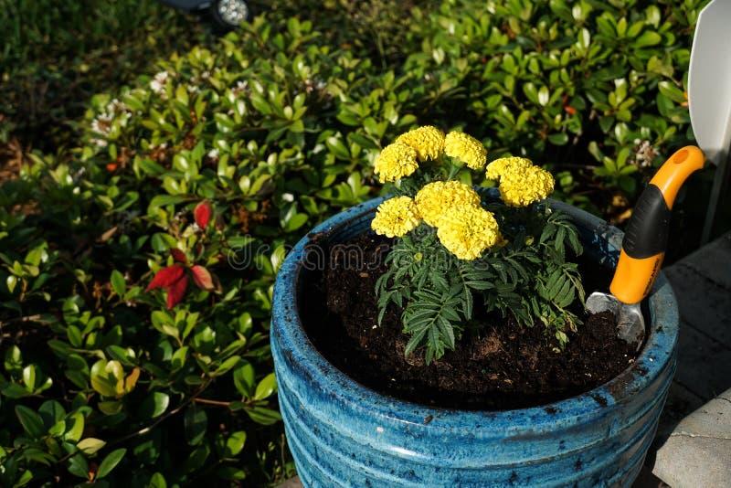 在一个明亮的蓝色罐新近地种植的万寿菊 库存照片