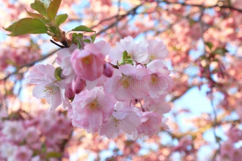 ?? 在一个晴朗的春日期间,Closup开花的桃红色爽快树花 库存图片