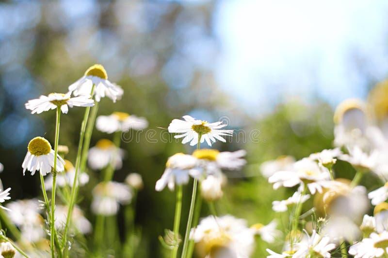 在一个晴朗的草甸的许多白色春黄菊 免版税库存照片