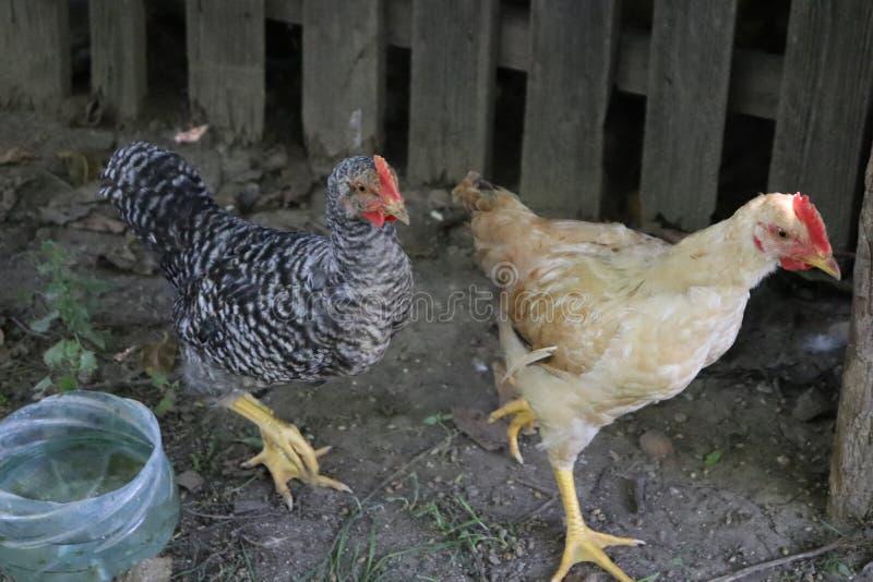 在一个有机农场养的鸡 免版税库存照片