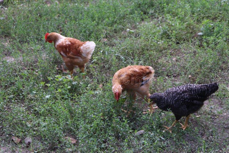 在一个有机农场养的鸡 库存照片