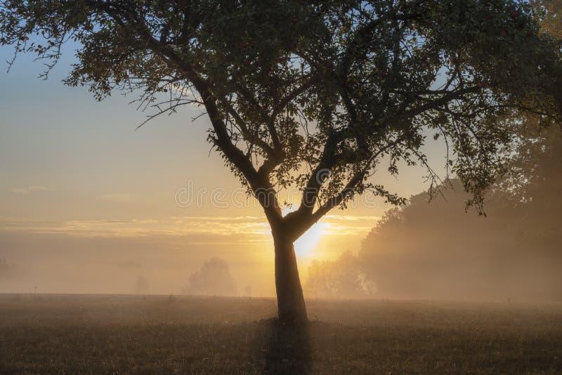 在一个有雾的草甸的苹果树日出的 免版税库存图片