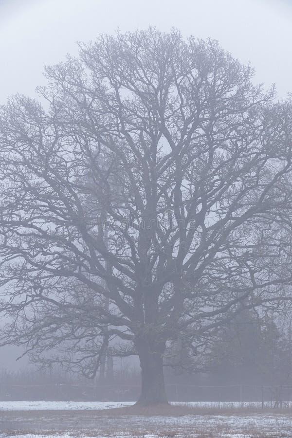 在一个有雾的风景的一棵大橡木 库存照片