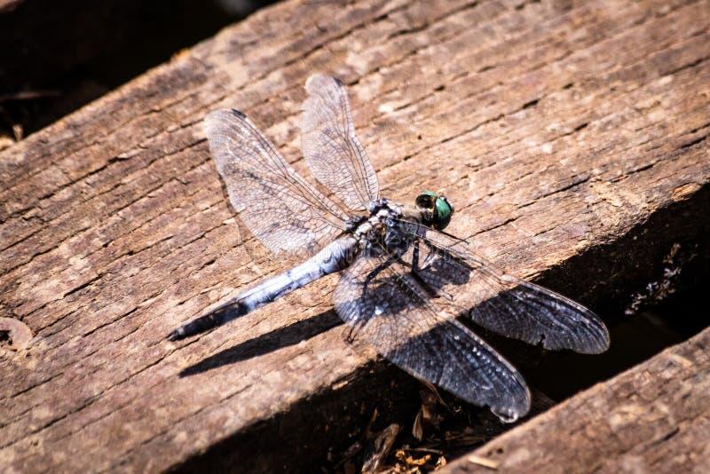 在一个木板条的蜻蜓由湖 免版税图库摄影