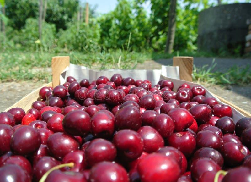 在一个木板箱的新近地被采摘的成熟红色樱桃 免版税库存图片