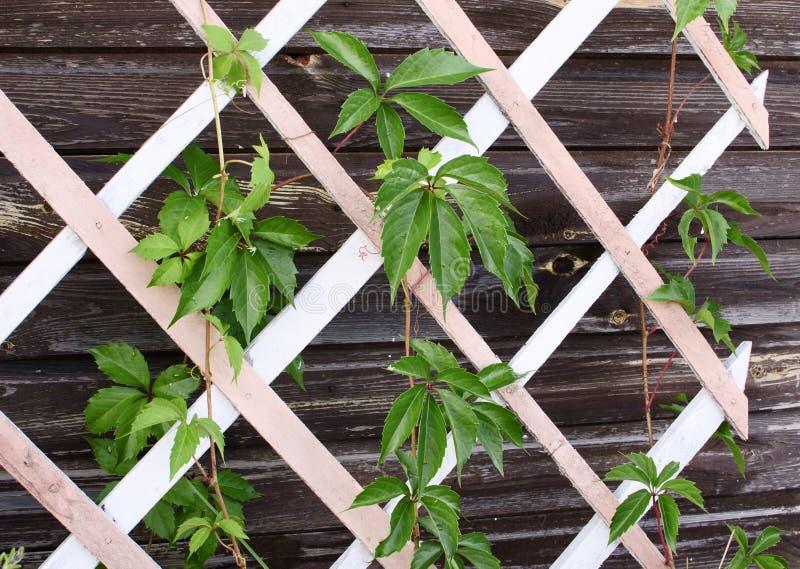 在一个木格子的叶子 免版税库存照片
