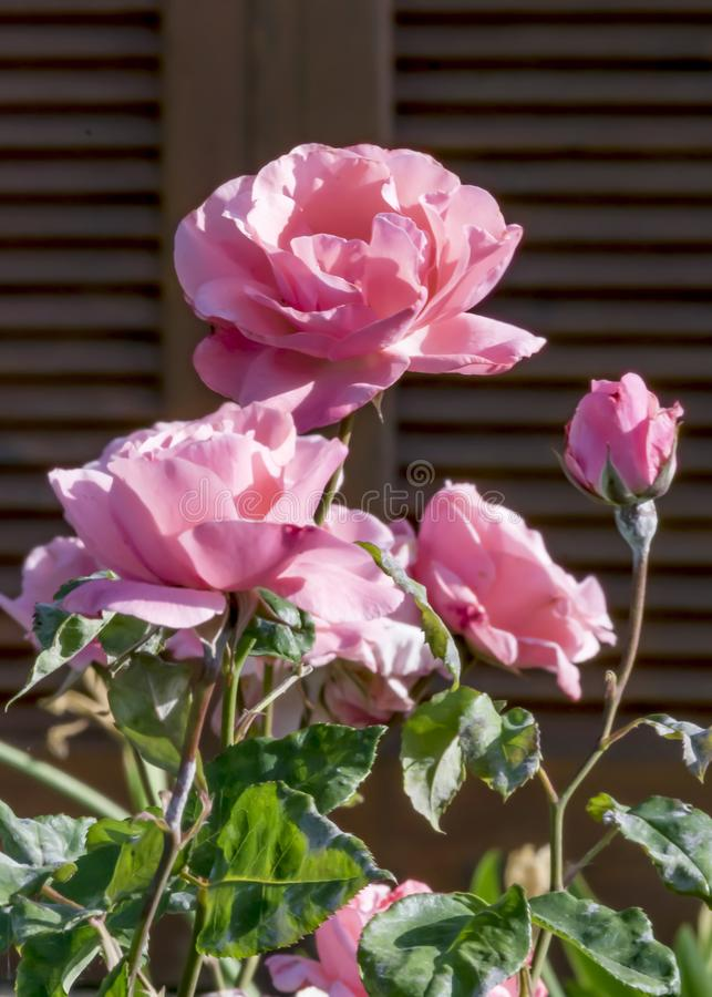 在一个木窗口的背景的开花的桃红色庭院玫瑰丛 免版税库存照片