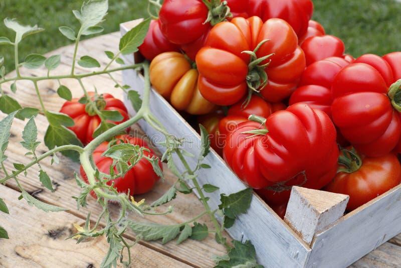 在一个木箱的成熟蕃茄在庭院里 免版税库存图片