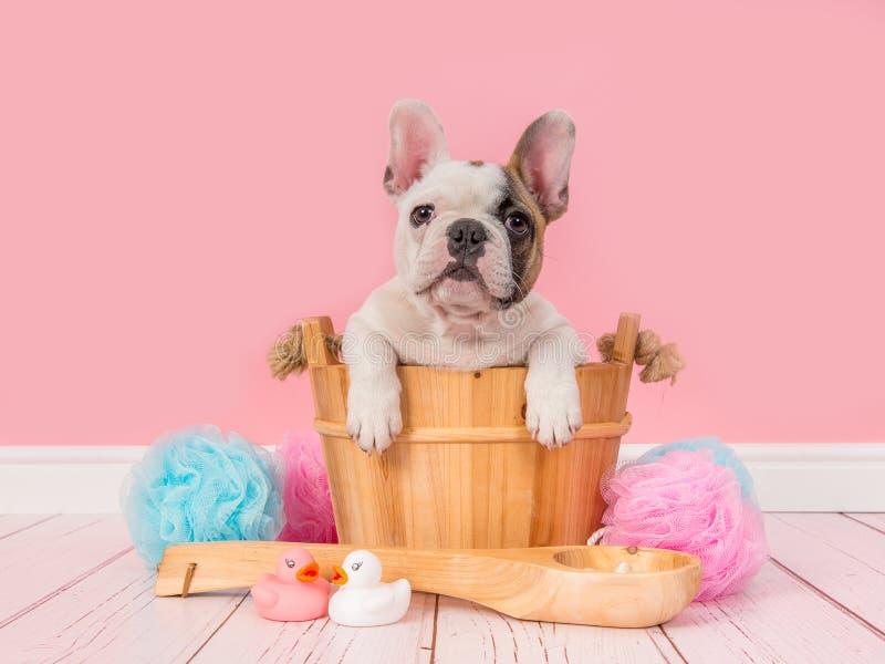 在一个木蒸汽浴桶的逗人喜爱的法国牛头犬小狗在一个桃红色卫生间设置 免版税库存照片