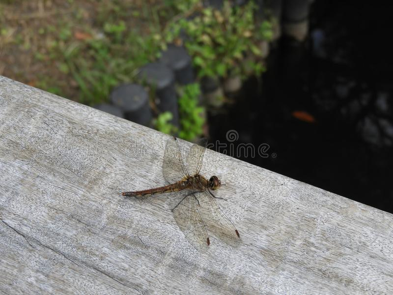 在一个木酒吧的蜻蜓 免版税库存照片