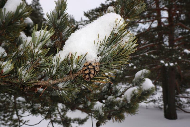 在一个杉木分支的爆沸在雪在冬天 免版税库存照片