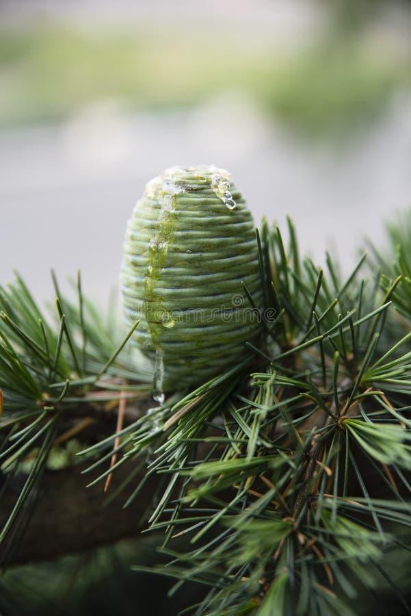 在一个杉木锥体的特写镜头在雪松 库存照片