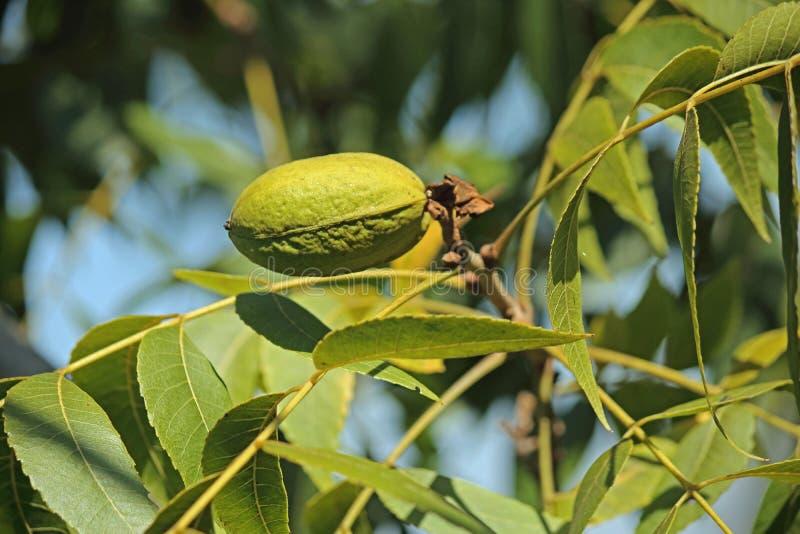 在一个果壳的绿色山核桃果在胡桃树 免版税库存图片