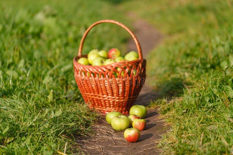 在一个柳条筐的大绿色成熟苹果在夏天结束时在阳光下在绿草在庭院里 免版税库存图片
