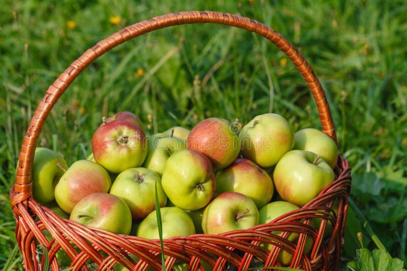 在一个柳条筐的大绿色成熟苹果在夏天结束时在阳光下在绿草在庭院里 免版税库存照片