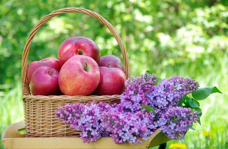 在一个柳条筐的新鲜的红色苹果在庭院里 在草的野餐 成熟苹果和春天花 免版税库存图片