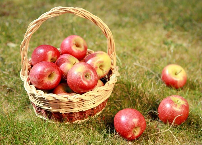 在一个柳条筐的苹果在一棵草,在晚上太阳 图库摄影