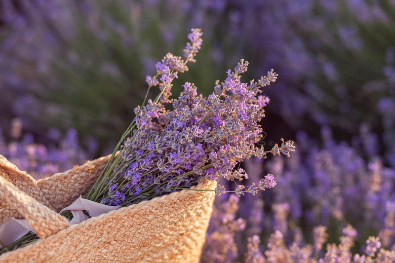 在一个柳条袋子的淡紫色花束在淡紫色领域日落 图库摄影