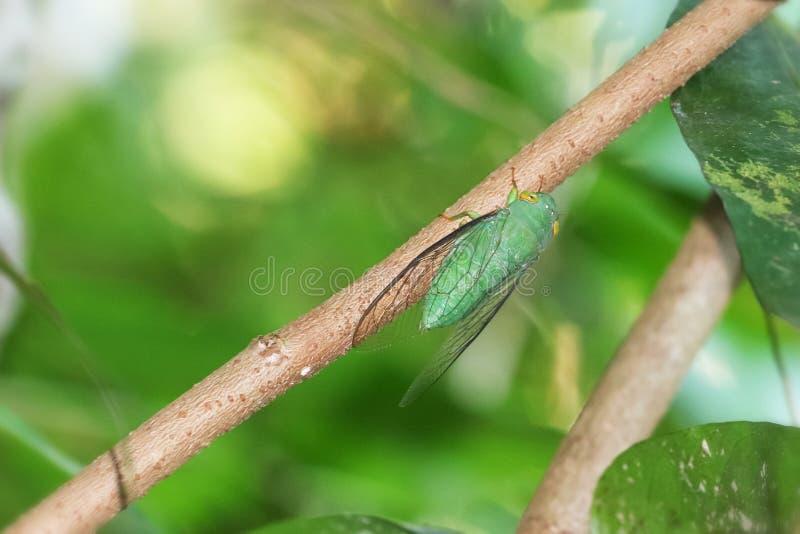 在一个树枝栖息的绿色蝉在森林里 免版税库存图片