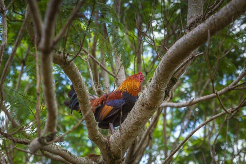 在一个树枝的五颜六色的公鸡就座在夏威夷的农场 免版税库存照片