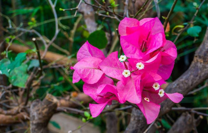 在一个树枝的桃红色九重葛花在宏观特写镜头,普遍的热带庭园花木,自然背景 库存图片