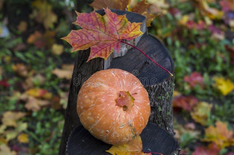 在一个树桩的一点南瓜在叶子 免版税图库摄影