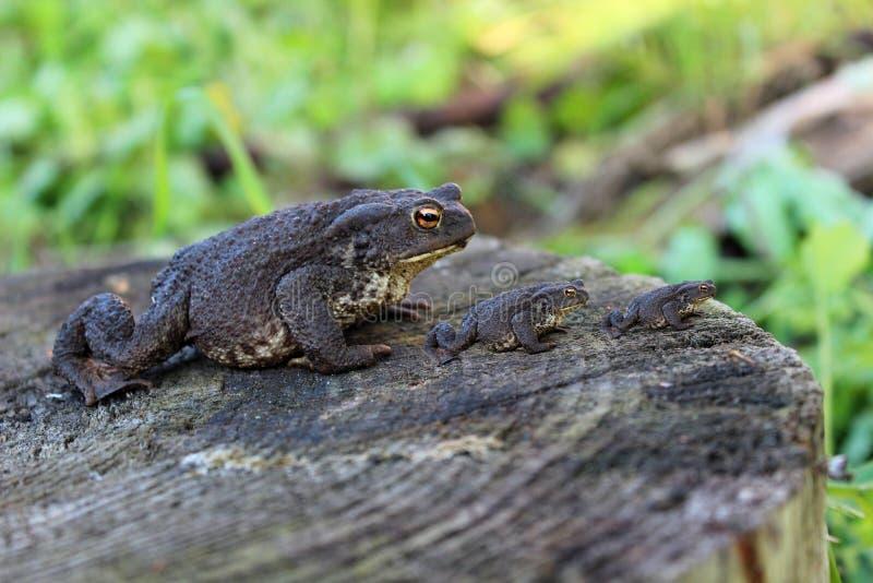 在一个树桩的三只相同青蛙在沼泽 免版税库存照片