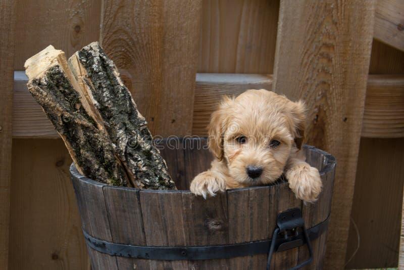 在一个桶的微型Goldendoodle小狗有日志的 免版税库存照片