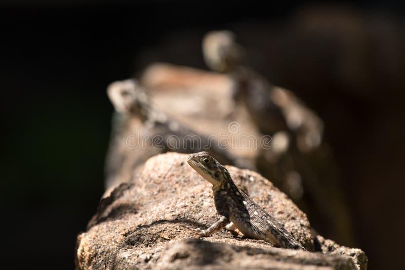 在一个棕色岩石的蜥蜴 免版税库存照片