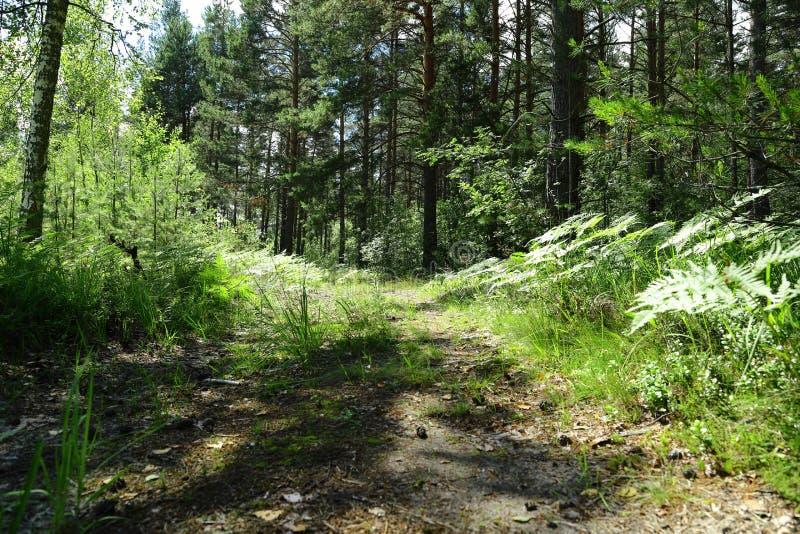在一个森林中间的老路在晴天 库存图片