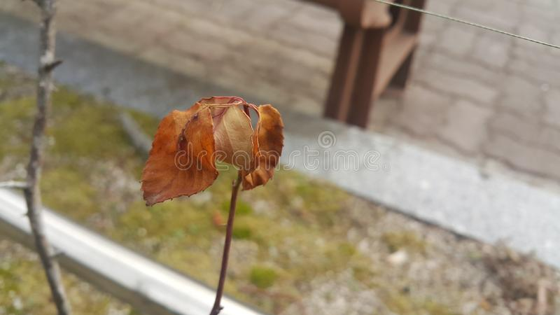 在一个植物分支的干棕色叶子在秋天季节期间 库存照片
