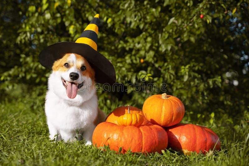 在一个欢乐万圣节黑色和黄色巫婆帽子穿戴的逗人喜爱的威尔士小狗狗,坐的下堆另外大小的橙色pumpki 库存照片