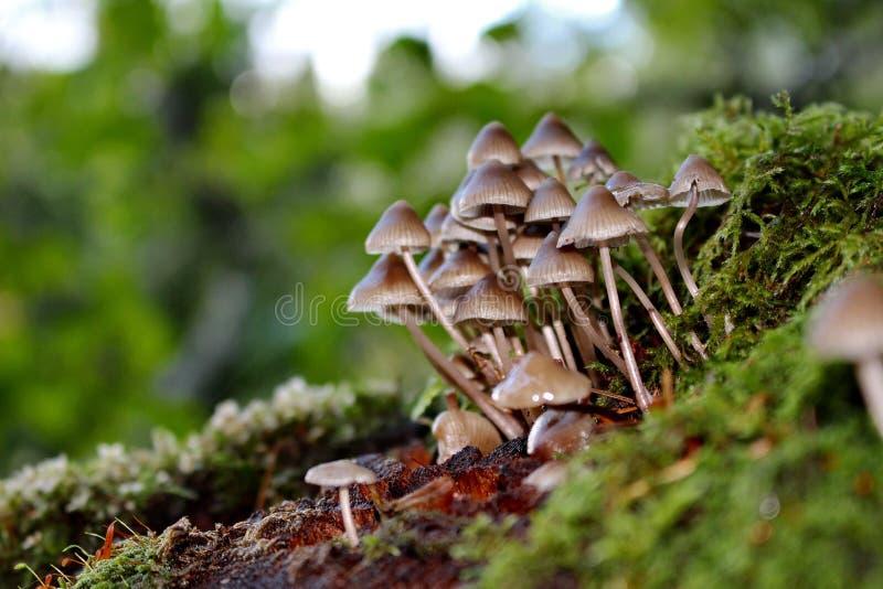 在一个死的树桩,Battle Ground湖国家公园,巴特尔格朗德,华盛顿,美国的蘑菇 免版税库存照片