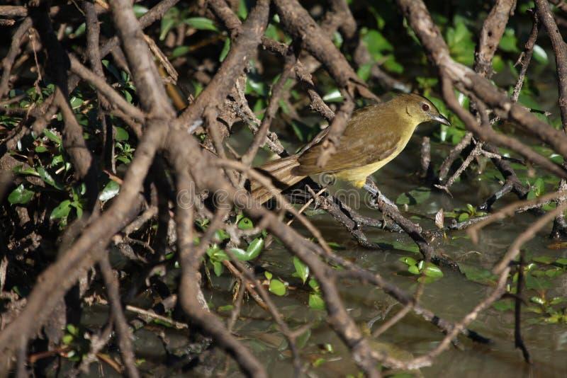 在一个水坑的一黄腹吸汁啄木鸟的greenbul 免版税库存图片