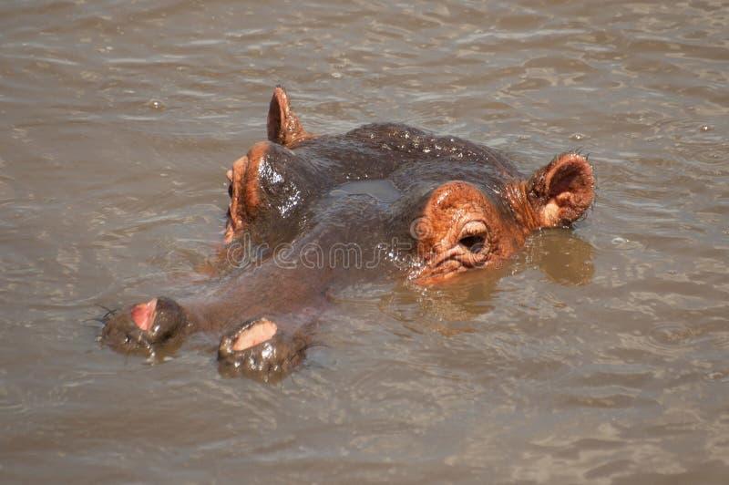 在一个水池的巨大的男性河马河马amphibius在塞伦盖蒂国家公园,坦桑尼亚 免版税库存照片