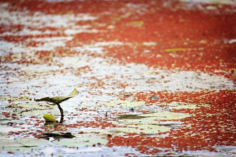 在一个池塘的唯一睡莲叶有红藻的 库存照片