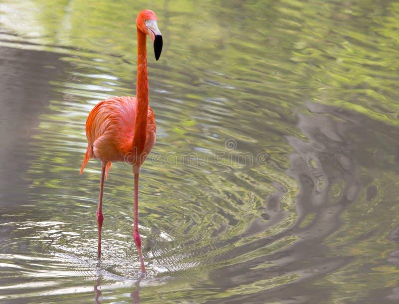 在一个池塘的桃红色火鸟本质上 图库摄影