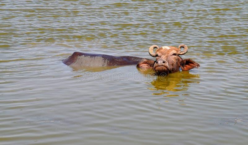 在一个池塘的水有面孔的和身体的某些部分的家养的亚洲水牛在水上表面的  免版税库存图片