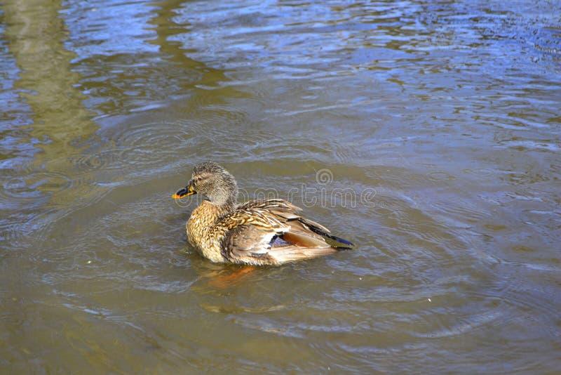 在一个池塘的鸭子游泳用绿色水,当寻找食物时 免版税库存图片