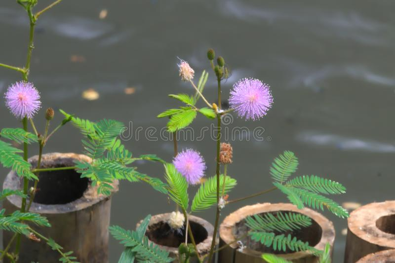 在一个池塘附近的美丽的紫色镶有钻石的旭日形首饰的花在曼谷,泰国 免版税图库摄影