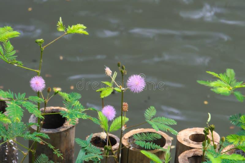 在一个池塘附近的美丽的紫色镶有钻石的旭日形首饰的花在曼谷,泰国 库存照片