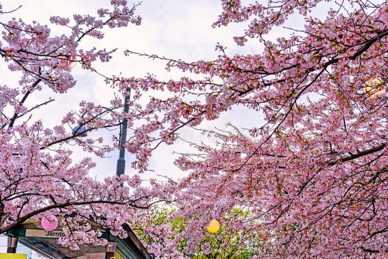 在一个汽车站的开花的樱花在哥特人,瑞典 免版税库存图片