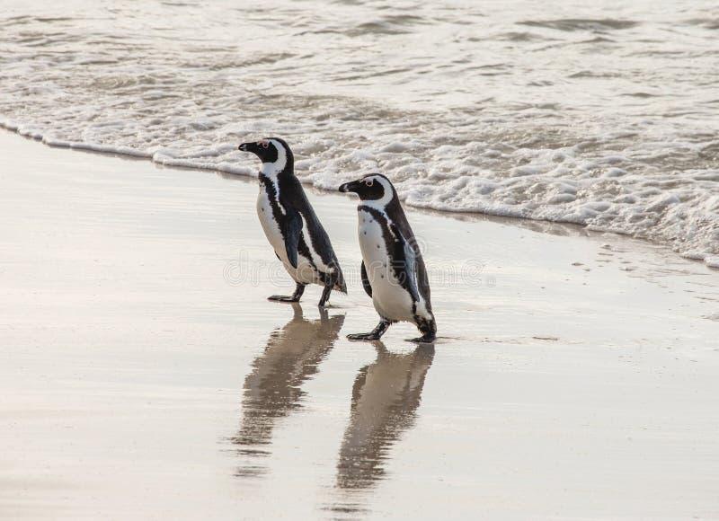 在一个沙滩的两只非洲企鹅 西蒙` s镇 冰砾海滩 非洲著名kanonkop山临近美丽如画的南春天葡萄园 库存照片