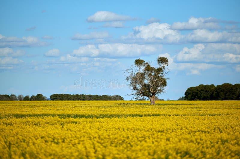 在一个油菜庄稼领域中间的一棵孤立桉树胶树在一个明亮的春日在与柔和的白色云彩的蓝天下 免版税图库摄影