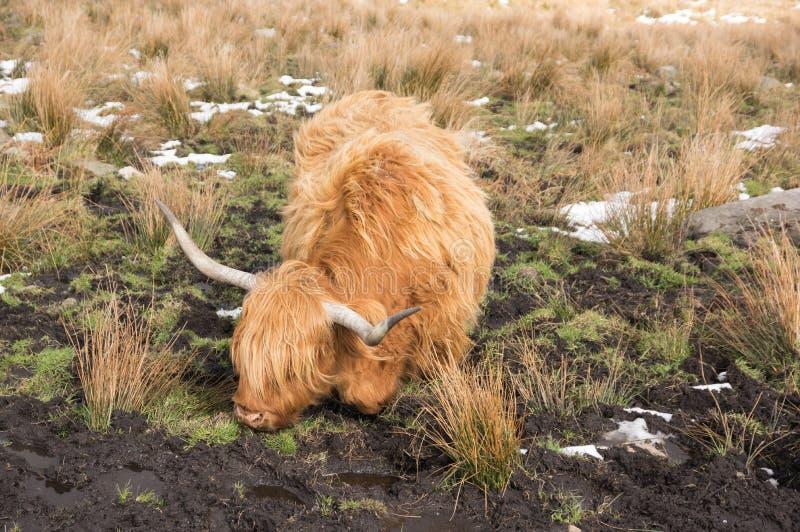 在一个泥泞的领域的高地牛在冬天 免版税库存图片