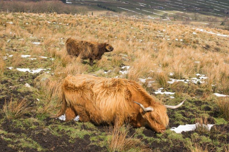在一个泥泞的领域的高地牛在冬天 库存照片