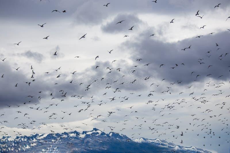 在一个海岛上的鸬鹚和海鸥殖民地小猎犬的乌斯怀亚的开辟小猎犬海峡,火地群岛,阿根廷 免版税库存照片