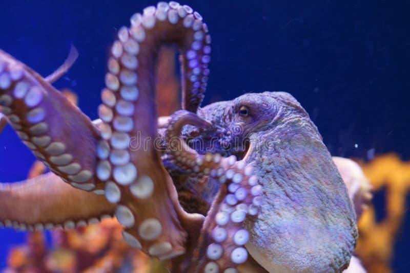 在一个海洋水族馆的章鱼 库存照片