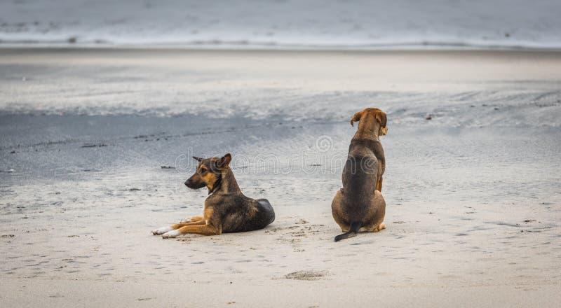 在一个海滩的两只流浪狗在巴拿马 图库摄影