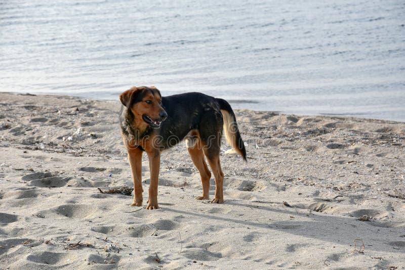 在一个海滩的大黑流浪狗在希腊 库存图片